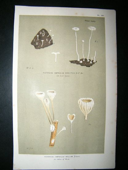 Cooke British Fungi 1880's Antique Mushroom Print. Agaricus Belliae 251 | Albion Prints